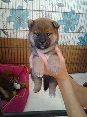 Kc Registered Shiba Inu Puppies For Sale!