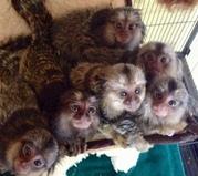 JKSE Adorable Twin Pygmy Marmoset and Capuchin 07031956739